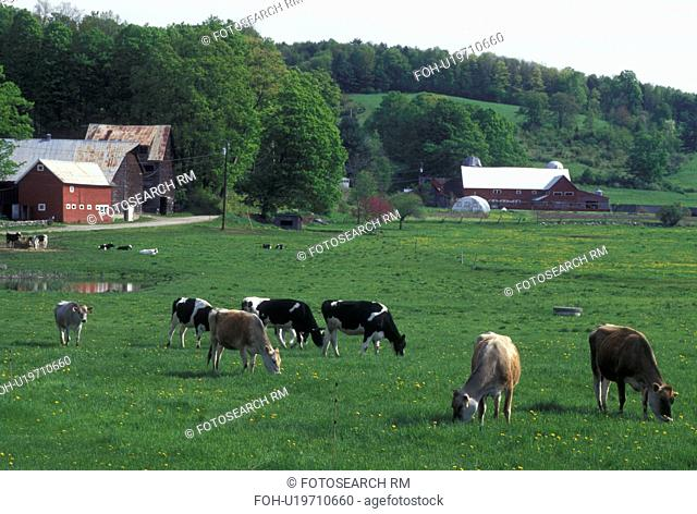 cows, farm, Vermont, VT, Springfield, Cows grazing in a pasture on a farm in Springfield in the spring