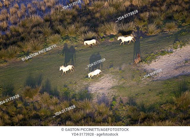 Aerial view picture. Horses in the Albufera Natural Park, Alcudia, Mallorca, Balearic Island, Spain.