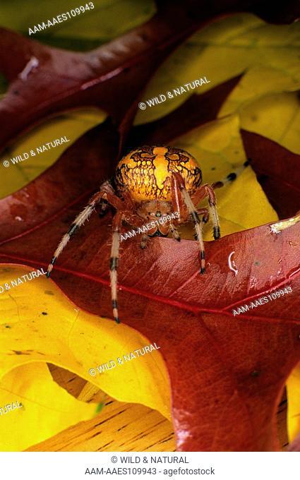 Marbled Spider (Araneus marmoreus), female