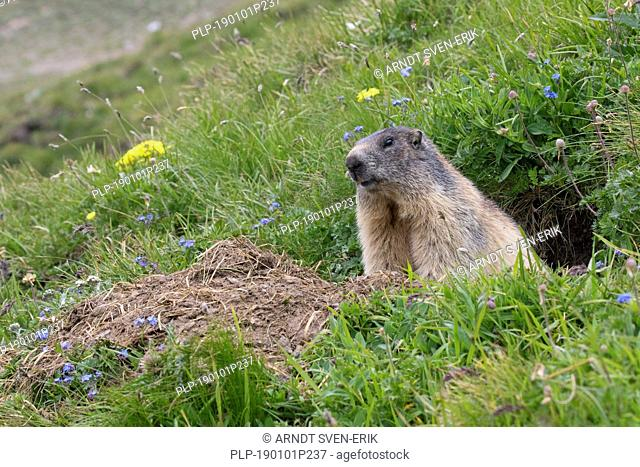 Alpine marmot (Marmota marmota) sitting in entrance of freshly dug out burrow in summer