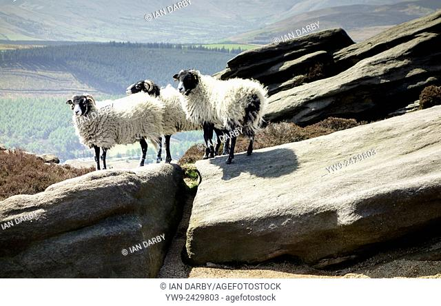Three sheep standing on a rocky outcrop in the Peak District Derbyshire