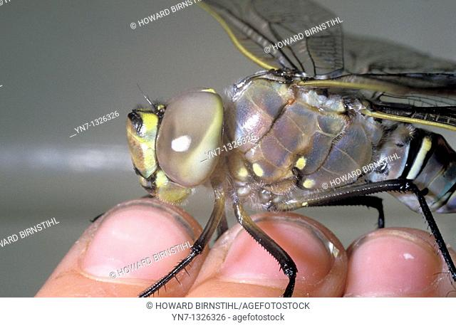very close view of dragon fly on fingers, Family Odonata
