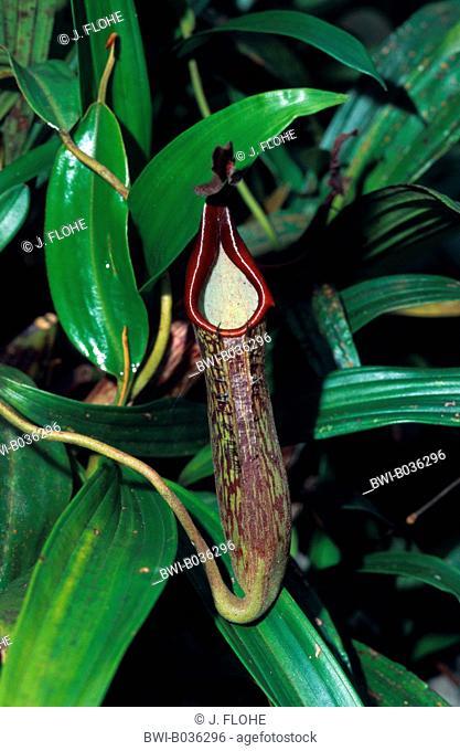 pitcher plant (Nepenthes fusca), tubular shaped leaf, Malaysia, Borneo, Mount Kinabalu
