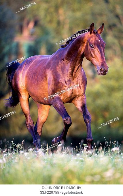 Oldenburg Horse. Bay gelding bucking on a meadow. Germany