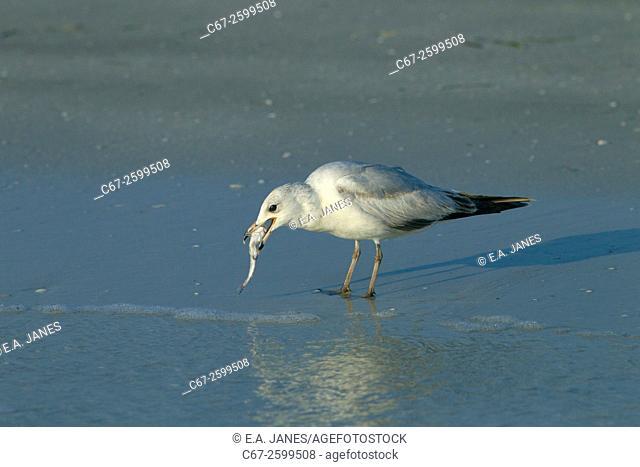 Ring-billed Gull Larus delawarensis feeding on Fort Myers beach Gulf Coast Florida USA
