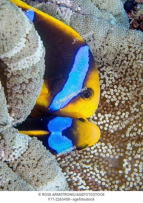 Amphiprion clarkii, known commonly as Clark's anemonefish and yellowtail clownfish, is a marine fish belonging to the family Pomacentridae