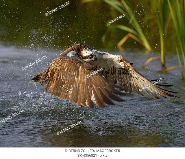 Osprey (Pandion haliaetus), starts from lake water, Tampere, Western Finland, Finland