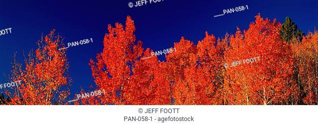 Aspen Trees, Utah, USA