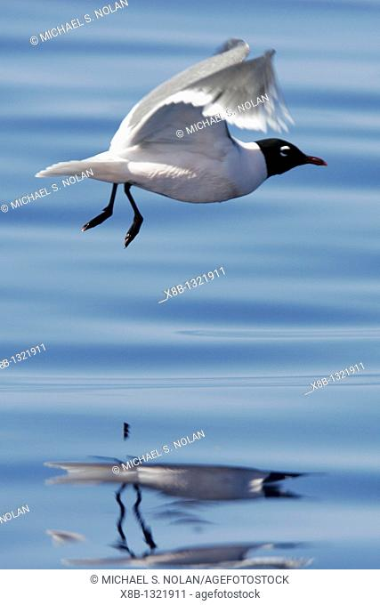Adult Franklin's Gull Larus pipixcan taking flight in the AuAu Channel, Maui, Hawaii  Pacific Ocean