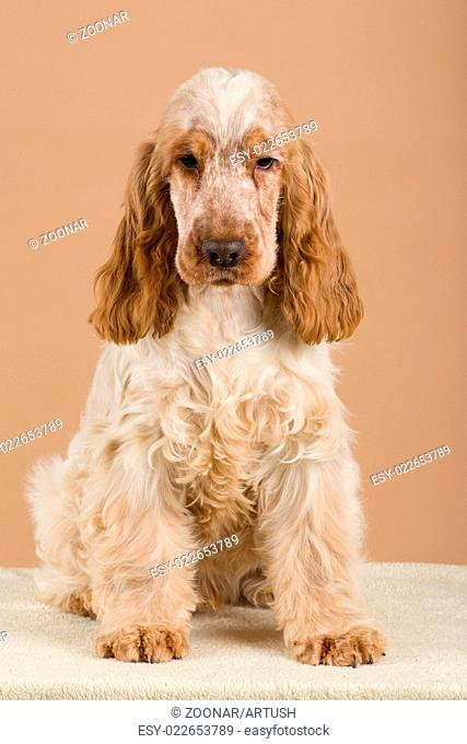 portrait of english cocker spaniel