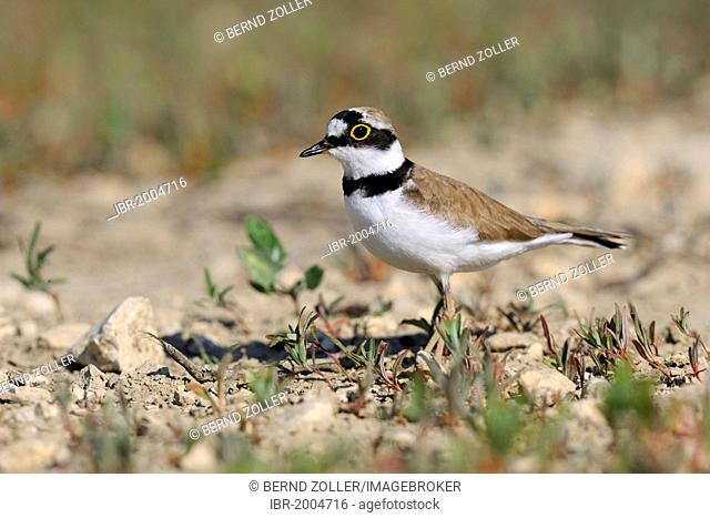 Little ringed plover (Charadrius dubius), Lechauen, wetlands of the Lech River, Swabia region, Bavaria, Germany, Europe