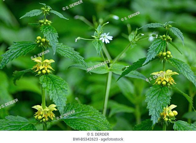 yellow archangle (Lamium montanum, Galeobdolon montanum), blooming stitchwort, Germany, Bavaria, Oberbayern, Upper Bavaria