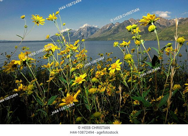 Spring Flowers at Jackson Lake and view to Teton Mountain Range, Grand Teton National Park, Wyoming, USA