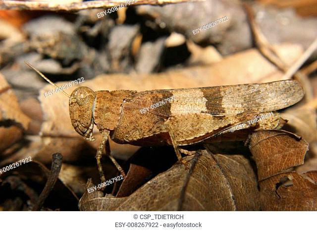Red-winged Grasshopper (Oedipoda germanica)