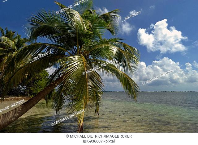 Palm trees on a beach on the coral island of South Water Caye, Belize Barrier Reef, Belize, Caribbean, Central America