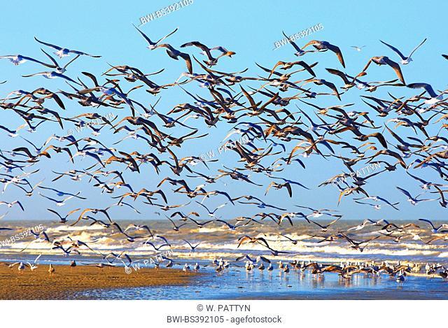 herring gull (Larus argentatus), flying up gulls at the North Sea Coast, Belgium