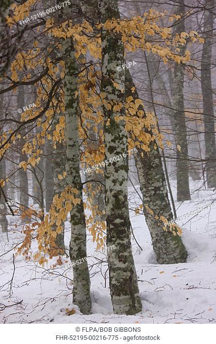 Common Beech Fagus sylvatica montane woodland in snow, France, winter