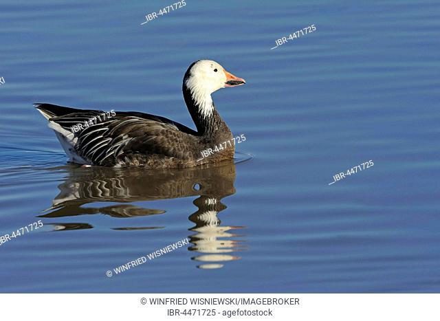 Snow Goose (Anser caerulescens, Chen caerulescens) swimming in water, Bosque del Apache, New Mexico, USA