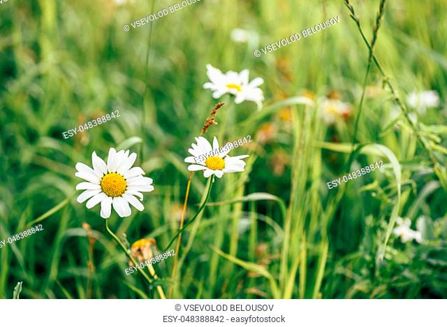 Daisy Flowers on Garden Lawn at Sunny Day. Blurred Background