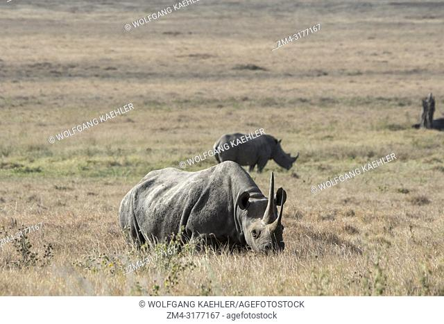 An endangered black rhinoceros or hook-lipped rhinoceros (Diceros bicornis) female at the Lewa Wildlife Conservancy in Kenya with endangered white rhinoceros or...