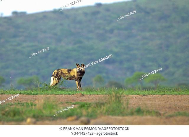 African Wild Dog Lycaon pictus   Endangered species   Hluhluwe Imfolozi Game Reserve  Kwazulu-Natal, South Africa  November 2010