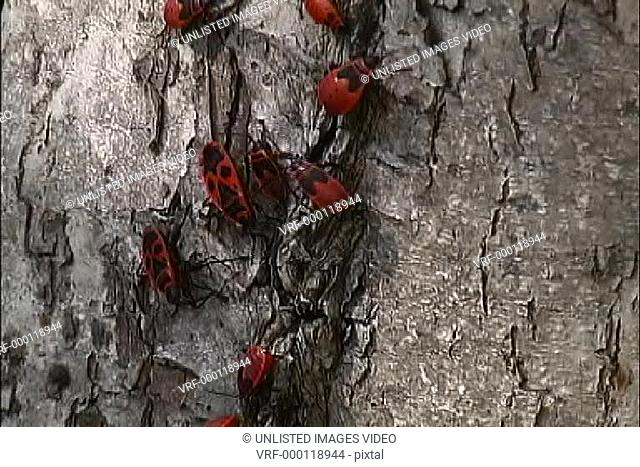 Black & red bugs on tree