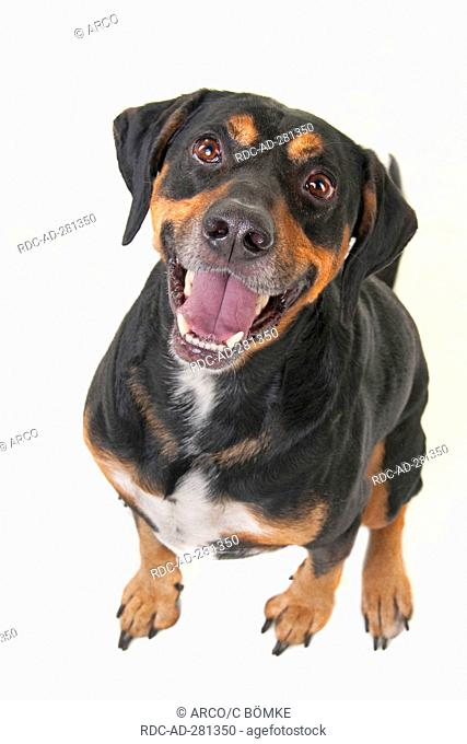 Mixed Breed Dog, male