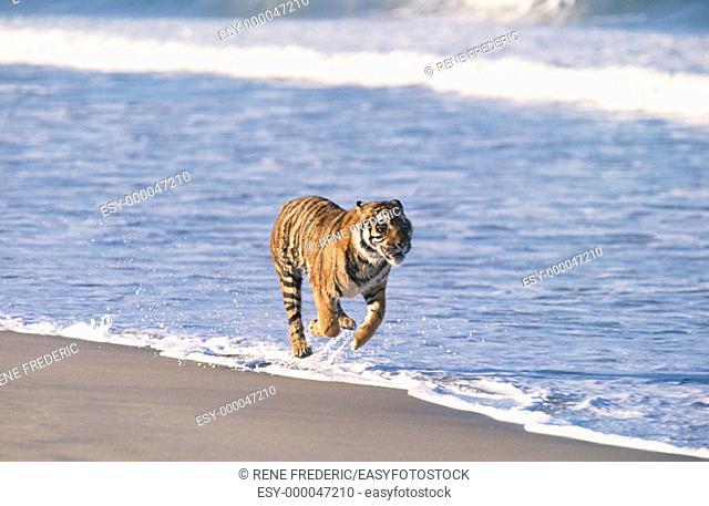 Bengal Tiger (Panthera tigris tigris). Asia