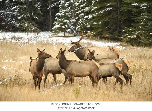 Elk (Cervus elaphus) Bull with harem of females in mountain meadow, Banff National Park, Alberta, Canada