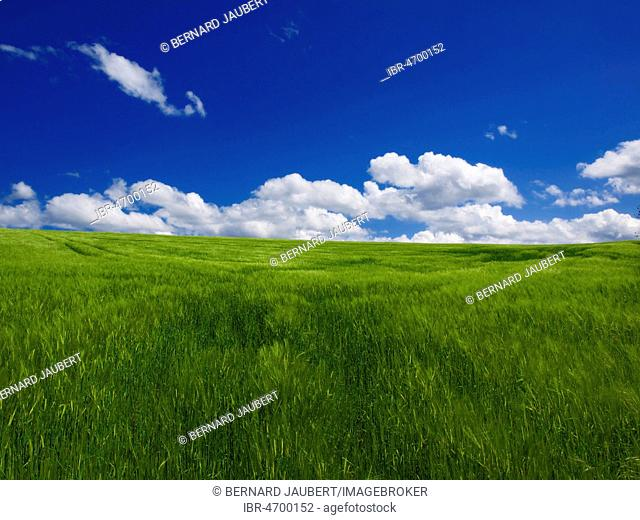 Field of wheat with white clouds and blue sky, Auvergne, Puy de Dome department, Auvergne-Rhône-Alpes, France