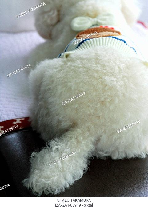 Close-up of a miniature poodle sitting on a table