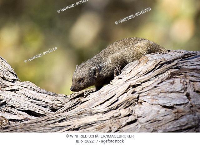 Zwergmanguste, mongoose (Helogale parvula), Savuti, Chobe National Park, Botswana, Africa