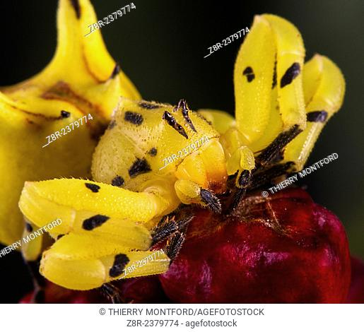 Thomisidae on a heliconia flower. French Guiana