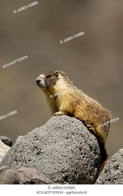 Yellow Bellied Marmot, Marmota flaviventris, Dog Creek, Great Basin Desert, Okanagan, British Columbia, Canada