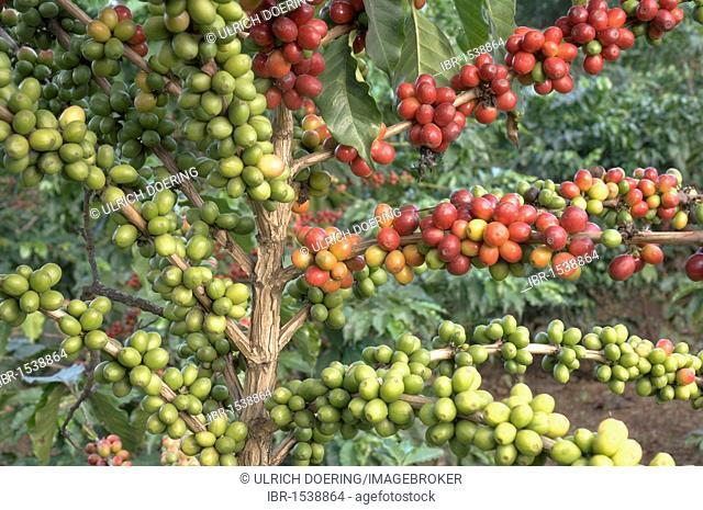 Shrub with bright red ripe and green immature coffee berries (Coffea arabica), Mwikai, Tanzania, Africa