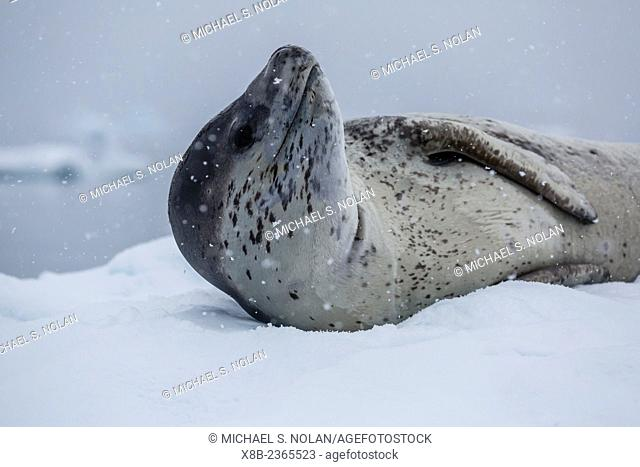 Adult leopard seal, Hydrurga leptonyx, hauled out on ice in Paradise Bay, on the western side of the Antarctic Peninsula, Antarctica