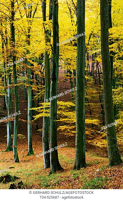 Common Beech Forest in Autumn. Fagus sylvatica. N.P.Jasmund, Isle of Ruegen. Mecklenburg-Vorpommern, Germany