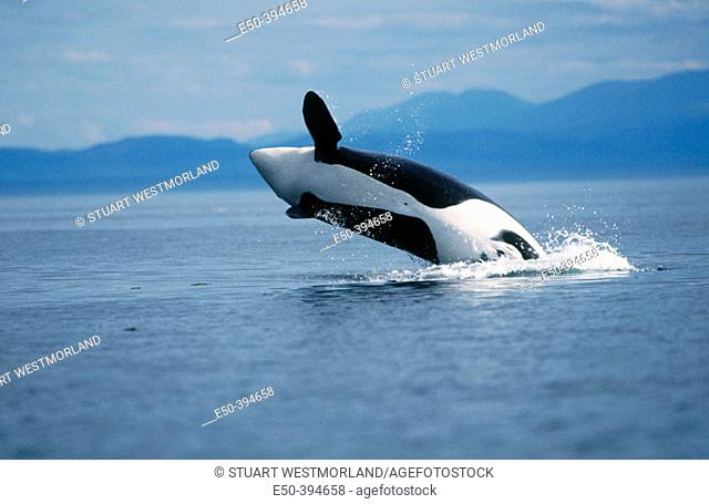 Breaching orca whale. Near San Juan island. Washington. USA