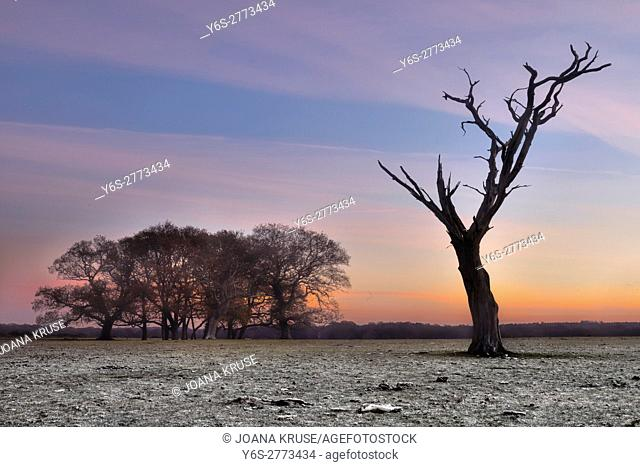 a dead tree in the New Forest on a winter morning, Hampshire, England, UK