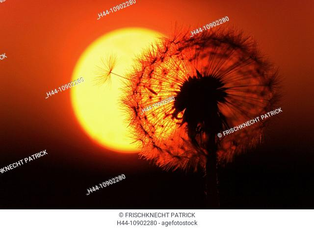 Flower, detail, flora, flight, reproduction, back light, sky, ease, light, air, dandelion, macro, morning, Morning-red, close-up, plant, puff, blowball, blowing