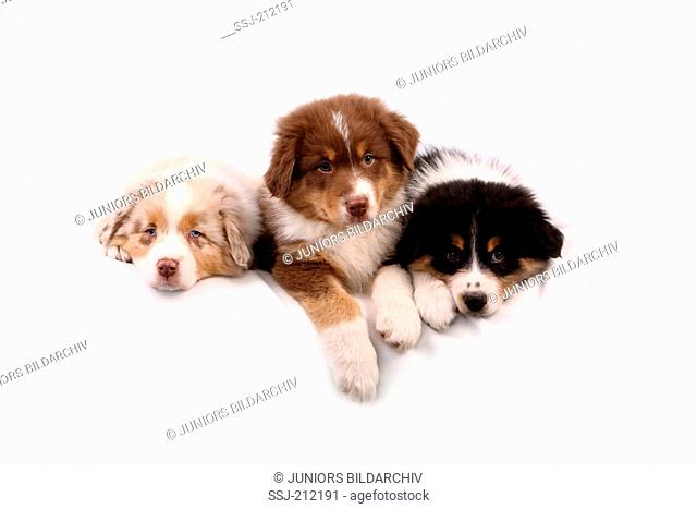 Australian Shepherd. Three puppies (6 weeks old) lying next to each other. Studio picture against a white background