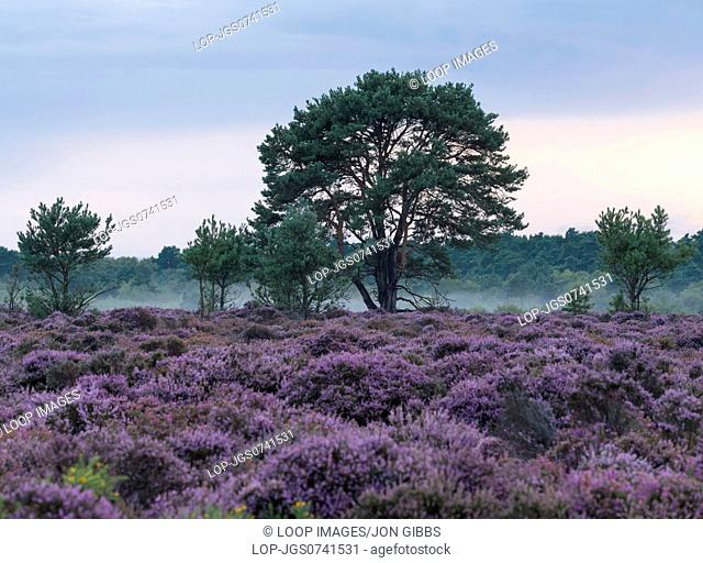 Wonderful heather colours at Dunwich Heath in Suffolk
