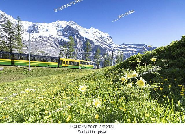 The Wengernalpbahn rack railway framed by flowers and snowy peaks Wengen Bernese Oberland canton of Bern Switzerland Europe
