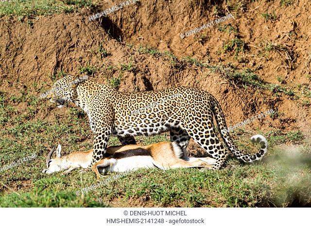 Kenya, Masai Mara game Reserve, leopard (Panthera pardus), female carrying its prey