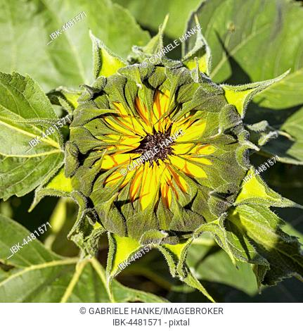 Petals of a sunflower (Helianthus annuus) whilst flowering, Germany