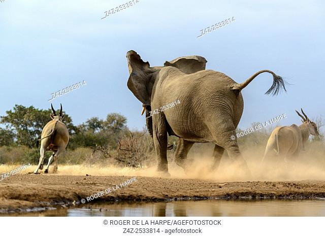 Common eland , also known as the southern eland or eland antelope (Taurotragus oryx) being chased away from a waterhole by and African bush elephant (Loxodonta...