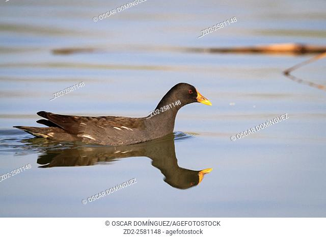 Common Moorhen (Gallinula chloropus) on water. Ebro Delta Natural Park. Catalonia. Spain
