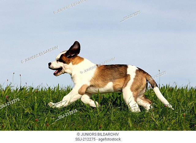 St. Bernard Dog. Puppy running on a meadow. Germany