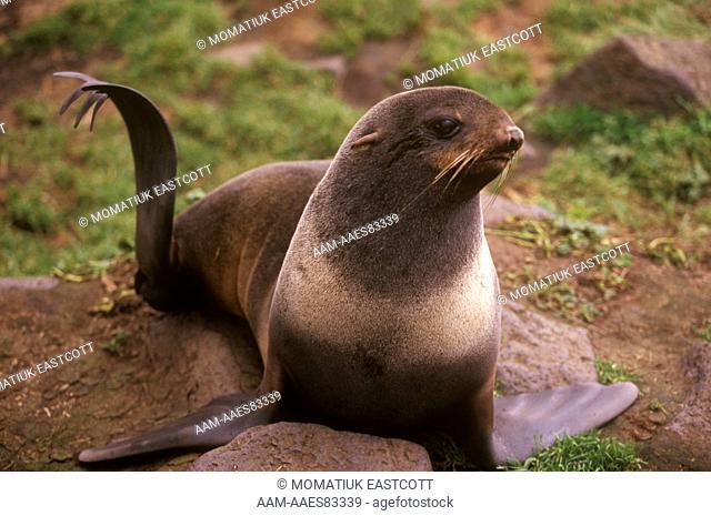 Northern Fur Seals resting female on rocks - Pribilofs (Callorhinus ursinus) AK Alaska