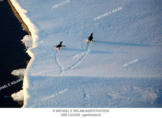 Adult Adelie penguins Pygoscelis adeliae tobogganing on an ice floe in the Weddell Sea, Antarctica  This penguin species is totally dependant on ice